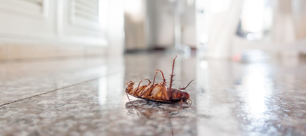 Cockroaches: A Quick Guide